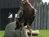 Aquila maculata minore