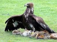 Águila dorada - Águila real [4], pez de colores [5] (Aquila chrysaetos): una especie de gran ave rapaz de la famili