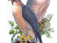 Slechtvalk - Slechtvalk [3] (Falco peregrinus) - een soort middelgrote roofvogel uit de valkenfamilie (Falconidae