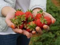 Gesunde Erdbeeren - M ........................