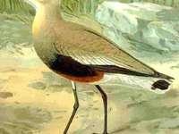 Gezellige Kievit - Gezellige kievit [4] (Vanellus gregarius) - een soort middelgrote trekvogel uit de plevierfamilie (C