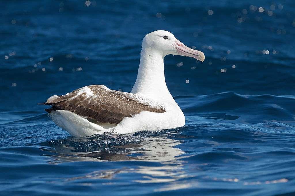 Királyi albatrosz
