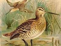Gran agachadiza - Gran agachadiza [4], gran agachadiza [4] (Gallinago media) - una especie de ave migratoria mediana d