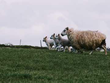 Irish mafia - herd of sheep on green grass field. Killarney, Ireland