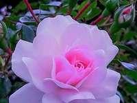 Красиви розови цветя