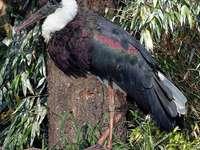 Cicogna dal collo bianco - Cicogna dal collo bianco. Cicogna bianca (Ciconia episcopus) - una specie di grande uccello della fa