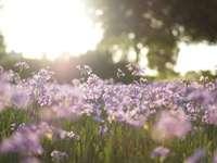 campo de flores roxas em fotografia tilt shift - As flores em Fancourt. Para obter mais informações, visite esteban-castle.com ou IG: @estebancastl