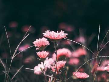 Flores rosadas - flores rosadas en fotografía macro. Saint Paul, Estados Unidos