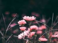 Rózsaszín virágok - rózsaszín virágok makro lövés fotózás. Saint Paul, Egyesült Államok