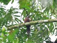 Chestnut pigeon - The chestnut pigeon [3] (Columba thomensis) is a species of medium-sized bird from the Columbidae fa