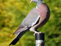 Crested (vogel) - Grzywacz, Houtduif (Columba palumbus) - een soort middelgrote trekvogel uit de familie columbidae, d