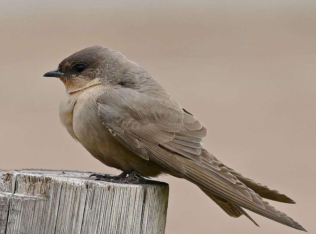Svag svälja - Pale svälja (Ptyonoprogne fuligula) - en art av liten fågel från svalfamiljen. Det finns i Afrika söder om Sahara. Det är inte i fara för utrotning (5×4)