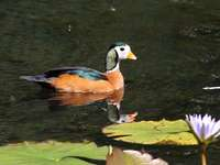 African duckling - African duck (Nettapus auritus) - a species of medium-sized bird in the family ducklings (Anatidae).