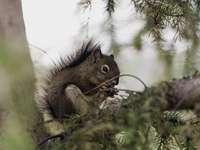 bruine eekhoorn - Ik hou van eekhoorns, ik vind het zulke fascinerende wezens. Die in Canada zijn een stuk kleiner dan