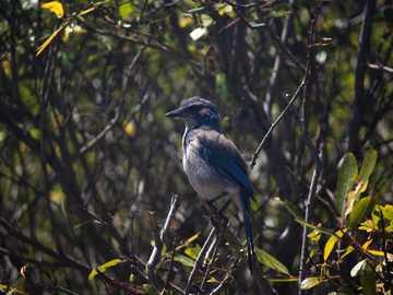 Astuto uccello dall'aspetto - uccello blu e bianco sul ramo di un albero marrone. Pacifica, CA, USA