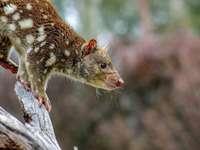 Dasyurus maculatus | Spot-tail quoll ή Tiger quoll - επιλεκτική φωτογραφία εστίασης καφέ τρωκτικού κατά τη