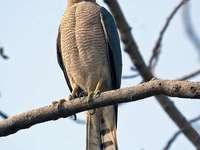 Pequeno Sparrowhawk - Gavião-pardal-menor (Accipiter badius) - uma espécie de ave de rapina da família do falcão. Tem