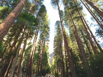 Corredor de árvore alta - árvores entre o caminho.