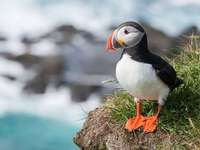 Common puffin - Puffin, Puffin (Fratercula arctica) - a species of medium waterbird from the alk family (Alcidae).