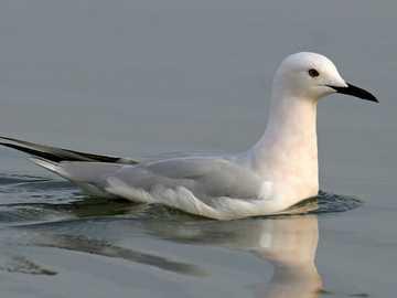 Gaviota de pico fino - Gaviota de pico delgado [3] (Chroicocephalus genei) - especie de gran ave acuática de la familia de