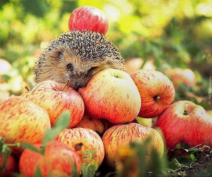 Igel mit Äpfeln (9×8)