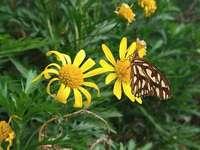 mariposita - es una mariposita en una florcita amarilla