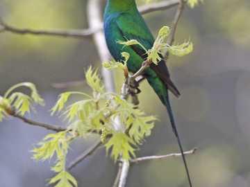 Malachit nektár - Malachit nektár [4], sárga oldalú nektár [5] (Nectarinia famosa) - a kicsi, de hosszú madárfaj