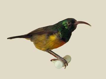 Maszáj nektár - Maszáj nedű (Cinnyris loveridgei) - a madár családjába tartozó kis madárfaj. Tanzániában ho