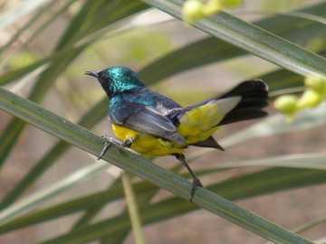 Hosszúfarkú nedű - Hosszúfarkú nektár (Hedydipna metallica) - a madár családjába tartozó kis madárfaj. Afrika �