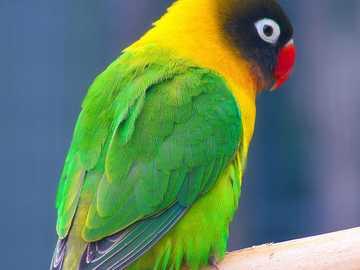 Inseparabile dalla testa nera - Inseparabile dalla testa nera [3] (Agapornis personatus) - una specie di piccolo uccello della famig
