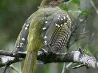 Geelgerande nicator - Geelgerande Nicator (Nicator gularis) - een soort middelgrote vogel in de familie van Nicatoridae. H