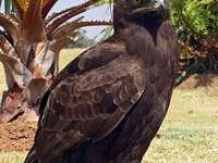 Aquila maculata dalla coda lunga