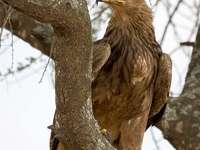 Aquila della savana