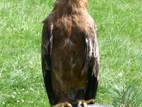 Águila de estepa - Águila de estepa (Aquila nipalensis): una especie de gran ave rapaz de la familia Accipitridae, que