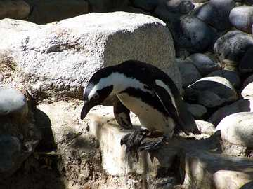 African penguin - The African penguin [4], the caper penguin (Spheniscus demersus) - a species of large bird from the
