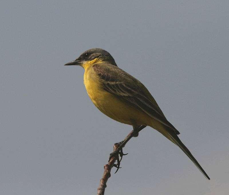 Gele kwikstaart - Gele kwikstaart (Motacilla flava) - een soort kleine vogel uit de kwikstaartfamilie (Motacillidae) (5×5)