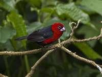 De roodharige vlam - De roodharige vlam (Spermophaga ruficapilla) - een soort kleine vogel uit de familie Astrid. Komt vo