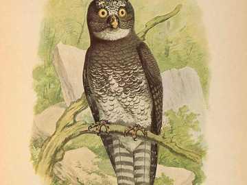 Бялата петниста кукумявка - Бело-петнистата орлова сова [4] (Bubo leucostictus) - вид средно г