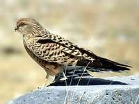 Estepe Kestrel - Estepe Kestrel [3] (Falco rupicoloides) - uma espécie de ave de rapina de tamanho médio da famíli