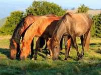 Los caballos pastan