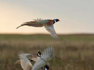 BobWhite Quail - This Is A Photo Of Birds Flying