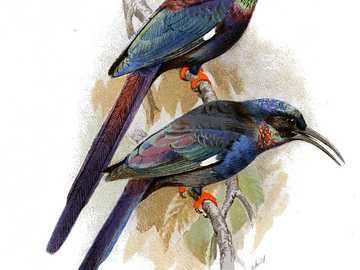 Hoja falciforme facturada - Hoz de pico de cangrejo [4] (Phoeniculus somaliensis) - una especie de ave de tamaño mediano en el