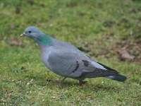 Contusión (pájaro)