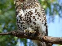Coruja pigmeu - A coruja macaroon (Glaucidium capense) - uma espécie de pequena coruja da família Tawny Owl (Strig