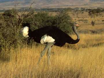Gray ostrich - Gray ostrich [4], Somali ostrich [5] (Struthio molybdophanes) - a species of large, flightless bird