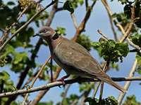 Gebrilde tortelduif - Gebrilde tortelduif [4] (Streptopelia decipiens) - een middelgrote vogelsoort uit de familie van col