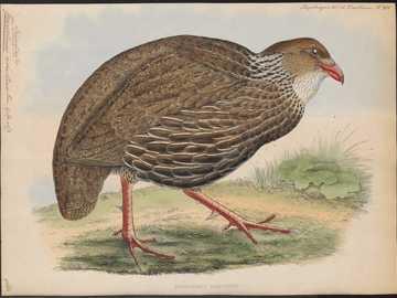 Brown-eared clawed leg - Brown-eared claw [5], brown-eared frankolin [6] (Pternistis ahantensis) - a species of medium-sized