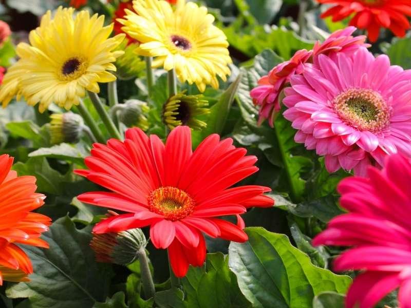 Színes gerberák - Színes virágok, gerberák (10×8)