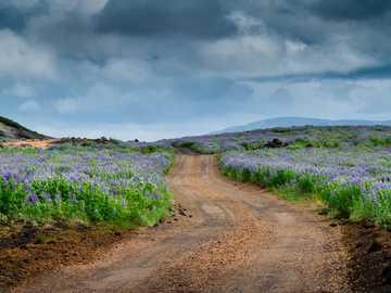 Lúpínur - fotografia di paesaggio del campo verde.