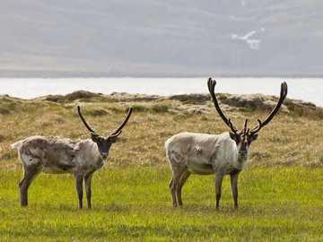 Animales de islandia - m .....................
